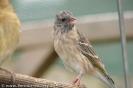 Serinus atrogularis somereni young female