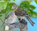 Juvenile female & male