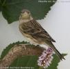 Serinus canaria female