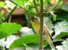 Serinus citrinipectus male
