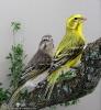 Serinus flaviventris couple