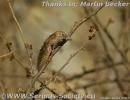 Serinus menachensis female