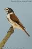 Alario leucolaemus