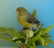 Serinus canaria male