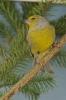 Serinus citrinella