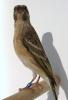 Serinus citrinipectus female