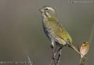 Serinus flaviventris flaviventris juvenile