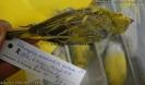 Serinus mozambicus barbatus
