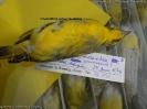 Serinus mozambicus gommaensis
