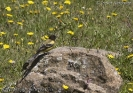 Serinus nigriceps